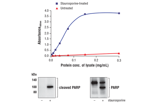 Figure 1. Treatment of HeLa cells with staurosporine induces cleavage of PARP at Asp214. The relationship between lysate protein concentration from untreated and staurosporine-treated HeLa cells and the absorbance at 450 nm as detected by FastScan™ Cleaved PARP (Asp214) ELISA Kit #67032 is shown in the upper figure. The corresponding western blots using a cleaved PARP specific antibody (left panel) and a PARP antibody which recognizes full-length and cleaved PARP (right panel) are shown in the lower figure. HeLa cells were treated with 1 μM staurosporine for 3 hours at 37ºC and then lysed.