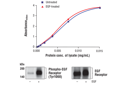 Figure 1. Treatment of A-431 cells with EGF stimulates phosphorylation of EGF Receptor at Tyr1068, but does not affect the level of total EGF Receptor protein. The relationship between lysate protein concentration from untreated and EGF-treated A-431 cells and the absorbance at 450 nm using the FastScan™ Total EGF Receptor ELISA Kit #80869 is shown in the upper figure. The corresponding western blots using phospho-EGF Receptor (Tyr1068) antibody (left panel) and EGF Receptor antibody (right panel) are shown in the lower figure. After serum starvation, A-431 cells were either left untreated or treated with 100 ng/ml hEGF #8916 for 5 minutes at 37°C and then lysed.