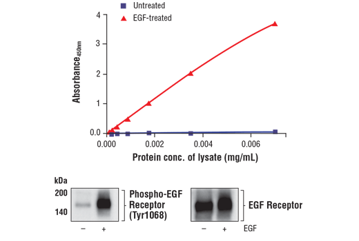 Figure 1. Treatment of A-431 cells with EGF stimulates phosphorylation of EGF Receptor at Tyr1068, but does not affect the level of total EGF Receptor protein. The relationship between lysate protein concentration from untreated and EGF-treated A-431 cells and the absorbance at 450 nm using the FastScan™ Phospho-EGF Receptor (Tyr1068) ELISA Kit #89897 is shown in the upper figure. The corresponding western blots using phospho-EGF Receptor (Tyr1068) antibody (left panel) and EGF Receptor antibody (right panel) are shown in the lower figure. After serum starvation, A-431 cells were either left untreated or treated with 100 ng/ml hEGF #8916 for 5 minutes at 37°C and then lysed.