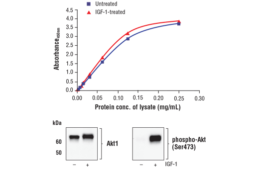 Figure 1. Treatment of MCF7 cells with IGF-1 stimulates phosphorylation of Akt at Ser473 but does not affect the level of total Akt1. The relationship between lysate protein concentration from untreated and IGF-1-treated MCF7 cells and the absorbance at 450 nm using the FastScan™ Total Akt1 ELISA Kit #15942 is shown in the upper figure. The corresponding western blots using Akt1 antibody (left panel) and phospho-Akt (Ser473) antibody (right panel) are shown in the lower figure. After serum starvation, MCF7 cells were treated with 100 ng/ml IGF-1 #8917 for 5 minutes at 37°C and then lysed.