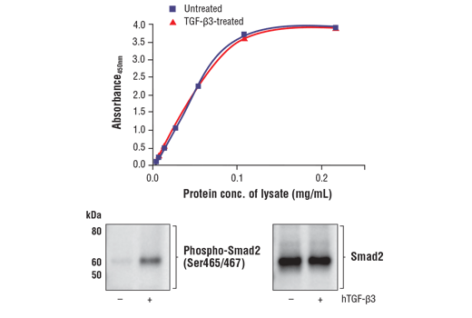 Figure 1. Treatment of HeLa cells with TGF-β3 stimulates phosphorylation of Smad2 at Ser465/467, but does not affect the level of total Smad2 protein. The relationship between lysate protein concentration from untreated and TGF-β3-treated HeLa cells and the absorbance at 450 nm using the FastScan™ Total Smad2 ELISA Kit #25587 is shown in the upper figure. The corresponding western blots using phospho-Smad2 (Ser465/467) antibody (left panel) and Smad2 antibody (right panel) are shown in the lower figure. After serum starvation, HeLa cells were either left untreated or treated with 10 ng/ml hTGF-β3 #8425 for 30 minutes at 37°C and then lysed.