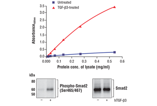 Figure 1. Treatment of HeLa cells with TGF-β3 stimulates phosphorylation of Smad2 at Ser465/467, but does not affect the level of total Smad2 protein. The relationship between lysate protein concentration from untreated and TGF-β3-treated HeLa cells and the absorbance at 450 nm using the FastScan™ Phospho-Smad2 (Ser465/467) ELISA Kit #86932 is shown in the upper figure. The corresponding western blots using phospho-Smad2 (Ser465/467) antibody (left panel) and Smad2 antibody (right panel) are shown in the lower figure. After serum starvation, HeLa cells were either left untreated or treated with 10 ng/ml hTGF-β3 #8425 for 30 minutes at 37°C and then lysed.