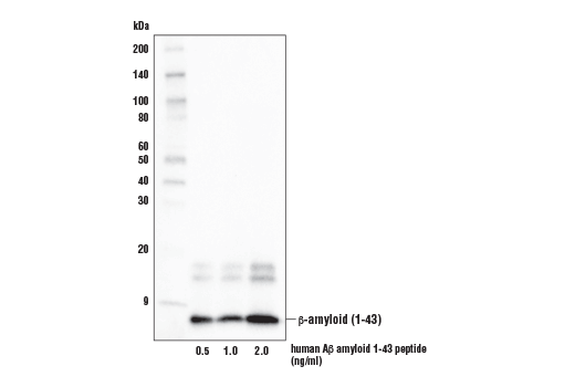 Western Blotting Image 1: β-Amyloid (1-43 Preferred) (E8C2D) Rabbit mAb