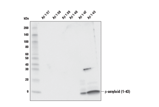 Western Blotting Image 2: β-Amyloid (1-43 Preferred) (E8C2D) Rabbit mAb
