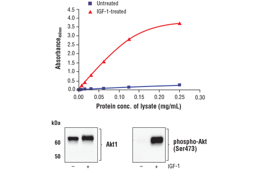 Figure 1. Treatment of MCF7 cells with IGF-1 stimulates phosphorylation of Akt1 at Ser473 but does not affect the level of total Akt1. The relationship between lysate protein concentration from untreated and IGF-1-treated MCF7 cells and the absorbance at 450 nm using the FastScan™ Phospho-Akt1 (Ser473) ELISA Kit #54336 is shown in the upper figure. The corresponding western blots using Akt1 antibody (left panel) and phospho-Akt (Ser473) antibody (right panel) are shown in the lower figure. After serum starvation, MCF7 cells were treated with 100 ng/ml IGF-1 #8917 for 5 minutes at 37°C and then lysed.
