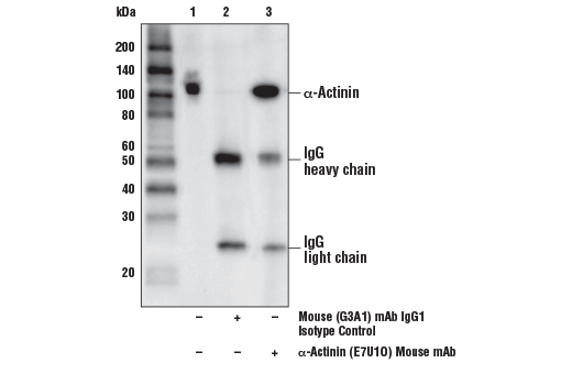 Immunoprecipitation of α-Actinin from Jurkat cells. Lane 1 is 10% input, lane 2 is Mouse (G3A1) mAb IgG1 Isotype Control #5415, and lane 3 is α-Actinin (E7U1O) Mouse mAb. Western blot was performed using α-Actinin (E7U1O) Mouse mAb. Anti-mouse IgG, HRP-linked Antibody #7076 was used as a secondary antibody.
