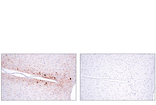 Immunohistochemical analysis of paraffin-embedded mouse brain using Tyrosine Hydroxylase (E2L6M) Rabbit mAb (left) compared to concentration matched Rabbit (DA1E) mAb IgG XP® Isotype Control #3900 (right).