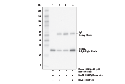 Immunoprecipitation of Rab5 protein from HeLa cell extracts. Lane 1 is 10% input, lane 2 is Mouse (G3A1) mAb IgG1 Isotype Control #5415, lane 3 is Rab5 (E6N8S) Mouse mAb without HeLa cell extracts, and lane 4 is Rab5 (E6N8S) Mouse mAb. Western blot analysis was performed using Rab5 (E6N8S) Mouse mAb.