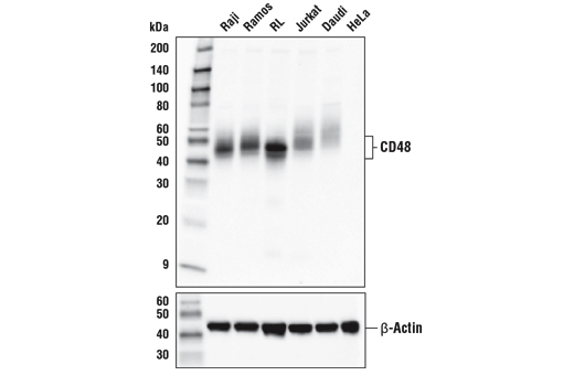 Western blot analysis of extracts from various cell lines using CD48 (D7L8I) XP<sup>®</sup> Rabbit mAb (upper) or β-Actin (D6A8) Rabbit mAb #8457 (lower).