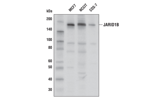 Western blot analysis of extracts from MCF7, NCCIT, and COS-7 cell lines using Jarid1B (E2X6N) Rabbit mAb.