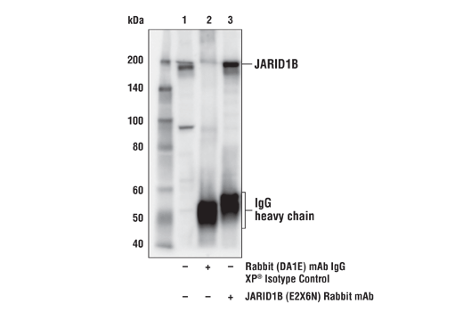 Immunoprecipitation of Jarid1B from MCF7 cell extracts. Lane 1 is 10% input, lane 2 is Rabbit (DA1E) mAb IgG XP<sup>®</sup> Isotype Control #3900, and lane 3 is Jarid1B (E2X6N) Rabbit mAb. Western blot analysis was performed using Jarid1B (E2X6N) Rabbit mAb.