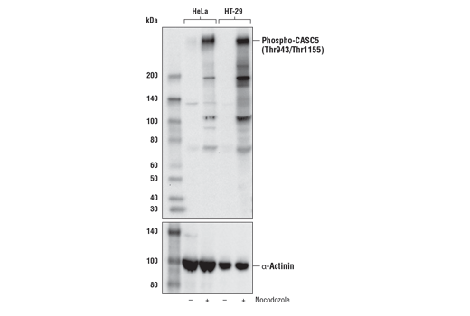 Western blot analysis of extracts from HT-29 and HeLa cells, untreated or treated with Nocodozole #2190 (100 ng/mL, 16 hr) to enrich cells in mitosis, using Phospho-CASC5 (Thr943/Thr1155) (D8D4N) Rabbit mAb (upper) or α-Actinin (D6F6) XP<sup>®</sup>Rabbit mAb#6487 (lower).