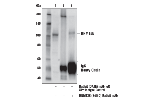 Immunoprecipitation of DNMT3B from F9 cell extracts. Lane 1 is 10% input, lane 2 is Rabbit (DA1E) mAb IgG XP<sup>®</sup> Isotype Control #3900, and lane 3 is DNMT3B (E4I4O) Rabbit mAb (Mouse Specific). Western blot analysis was performed using DNMT3B (E4I4O) Rabbit mAb (Mouse Specific).