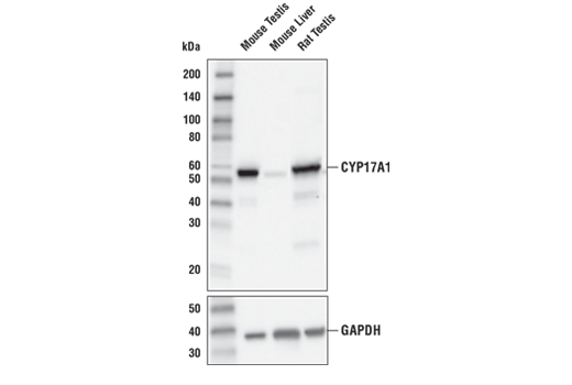 Western blot analysis of extracts from mouse testis, mouse liver, and rat testis using CYP17A1 (E6A7G) XP<sup>®</sup> Rabbit mAb (upper) and GAPDH (D16H11) XP<sup>®</sup> Rabbit mAb #5174 (lower).
