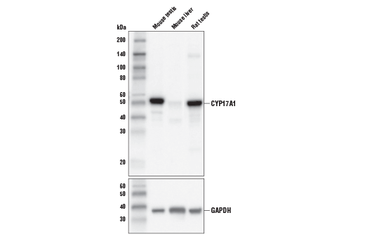 Western blot analysis of extracts from mouse testis, mouse liver, and rat testis using CYP17A1 (E6Y3S) Rabbit mAb (upper) and GAPDH (D16H11) XP<sup>®</sup> Rabbit mAb #5174 (lower).