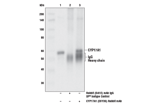 Immunoprecipitation of CYP17A1 from mouse testis extract. Lane 1 is 10% input, lane 2 is Rabbit (DA1E) mAb IgG XP<sup>®</sup> Isotype Control #3900, and lane 3 is CYP17A1 (E6Y3S) Rabbit mAb. Western blot analysis was performed using CYP17A1 (E6Y3S) Rabbit mAb. Anti-rabbit IgG, HRP-linked Antibody #7074 was used as the secondary antibody.