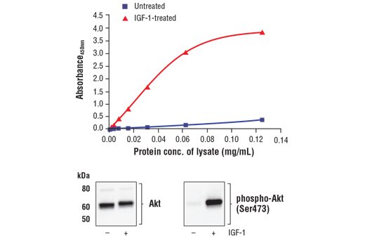 Figure 1. Treatment of MCF7 cells with IGF-1 stimulates phosphorylation of Akt at Ser473 but does not affect the level of total Akt . The relationship between lysate protein concentration from untreated and IGF-1-treated MCF7 cells and the absorbance at 450 nm using the FastScan™ Phospho-Akt (Ser473) ELISA Kit #80895 is shown in the upper figure. The corresponding western blots using Akt antibody (left panel) and phospho-Akt (Ser473) antibody (right panel) are shown in the lower figure. After serum starvation, MCF7 cells were treated with 100 ng/ml IGF-1 #8917 for 5 minutes at 37°C and then lysed.