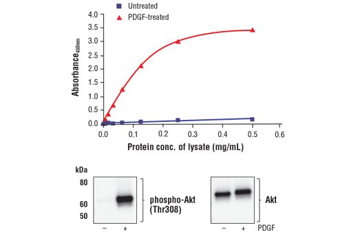 Figure 1. Treatment of NIH/3T3 cells with PDGF stimulates phosphorylation of Akt at Thr308 but does not affect the level of total Akt. The relationship between lysate protein concentration from untreated and PDGF-treated NIH/3T3 cells and the absorbance at 450 nm using the FastScan™ Phospho-Akt (Thr308) ELISA Kit #67807 is shown in the upper figure. The corresponding western blots using phospho-Akt (Thr308) antibody (left panel) and Akt antibody (right panel) are shown in the lower figure. After serum starvation, NIH/3T3 cells were treated with 100 ng/ml PDGF #8912 for 5 minutes at 37°C and then lysed.
