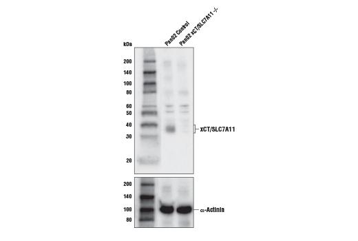 Polyclonal Antibody - xCT/SLC7A11 Antibody - Western Blotting, UniProt ID Q9WTR6, Entrez ID 26570 #98051, Slc7a11