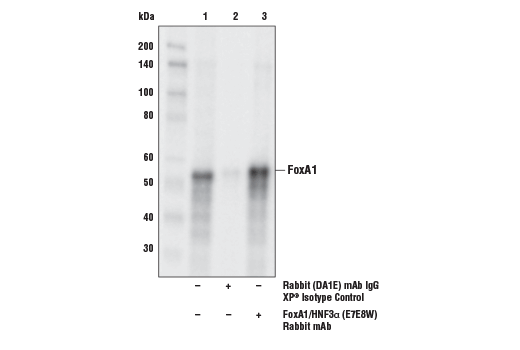 Immunoprecipitation Image 1: FoxA1/HNF3α (E7E8W) Rabbit mAb