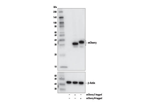 Monoclonal Antibody - mCherry (E5D8F) Rabbit mAb - 100 µl #43590 - Related Products