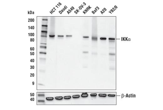 Monoclonal Antibody Immunoprecipitation Skeletal Muscle Contraction