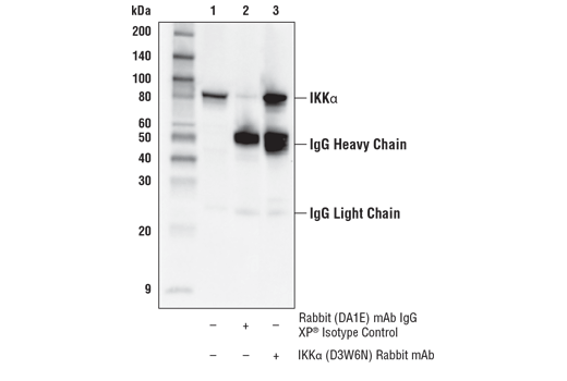 Immunoprecipitation Image 1: IKKα (D3W6N) Rabbit mAb