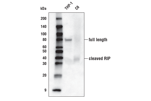 Western blot analysis of extracts from THP-1 and C6 cell lines using RIP (D94C12) XP<sup>®</sup> Rabbit mAb (Biotinylated).