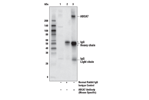 Immunoprecipitation of ABCA7 from mouse brain extracts. Lane 1 is 10% input, lane 2 is Normal Rabbit IgG #2729, and lane 3 is ABCA7 Antibody (Mouse Specific). Western blot analysis was performed using ABCA7 Antibody (Mouse Specific).