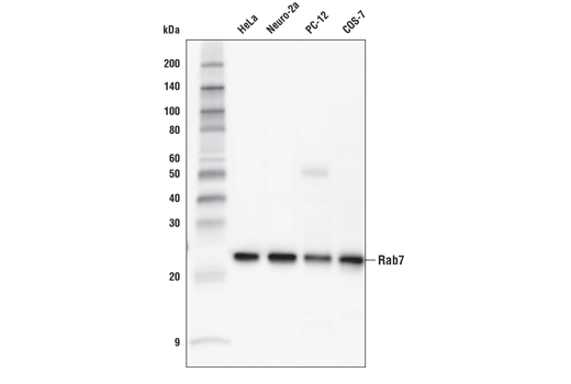 Western blot analysis of extracts from various cell lines using Rab7 (E9O7E) Mouse mAb.