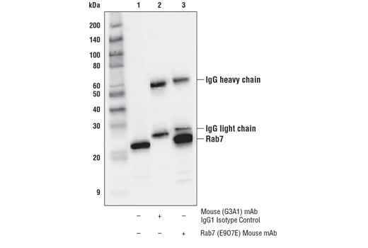 Immunoprecipitation of Rab7 protein from HeLa cell extracts. Lane 1 is 10% input, lane 2 is Mouse (G3A1) mAb IgG1 Isotype Control #5415, and lane 3 is Rab7 (E9O7E) Mouse mAb. Western blot analysis was performed using Rab7 (E9O7E) Mouse mAb.