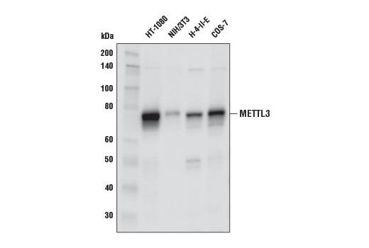 Western blot analysis of extracts from various cell lines using METTL3 (E3F2A) Rabbit mAb.