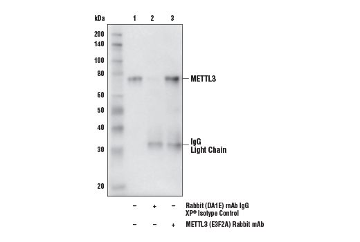Immunoprecipitation of METTL3 from 293T cell extracts. Lane 1 is 10% input, lane 2 is Rabbit (DA1E) mAb IgG XP<sup>®</sup> Isotype Control #3900, and lane 3 is METTL3 (E3F2A) Rabbit mAb. Western blot analysis was performed using METTL3 (E3F2A) Rabbit mAb and Mouse Anti-rabbit IgG (Conformation Specific) (L27A9) mAb (HRP Conjugate) #5127.