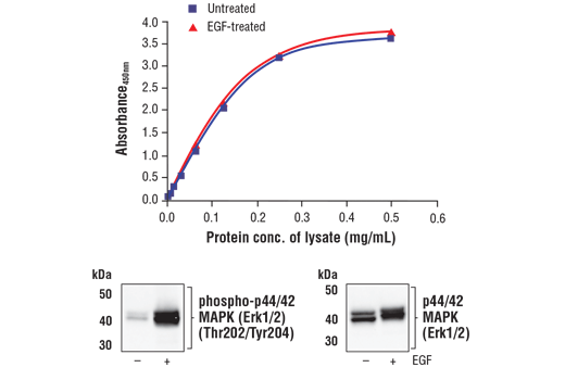 Figure 1. Treatment of A-431 cells with EGF stimulates phosphorylation of p44/42 MAPK (Erk1/2) at Thr202 and Tyr204, but does not affect the level of total p44/42 MAPK (Erk1/2). The relationship between lysate protein concentration from untreated and EGF-treated A-431 cells and the absorbance at 450 nm using the FastScan™ Total p44/42 MAPK (Erk1/2) ELISA Kit #67404 is shown in the upper figure. The corresponding western blots using phospho-p44/42 MAPK (Erk1/2) (Thr202/Tyr204) antibody (left panel) and p44/42 MAPK (Erk1/2) antibody (right panel) are shown in the lower figure. After serum starvation, A-431 cells were treated with 100 ng/ml EGF #8916 for 5 minutes at 37°C and then lysed.