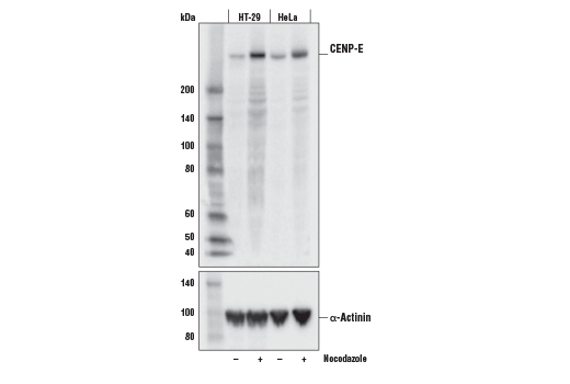 Western blot analysis of extracts from HT-29 and HeLa cells, untreated (-) or treated with Nocodazole #2190 (100 ng/mL, 24 hr; +), using CENP-E (E5N7B) Rabbit mAb (upper) or α-Actinin (D6F6) XP<sup>®</sup> Rabbit mAb #6487 (lower).