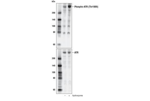 Monoclonal Antibody - Phospho-ATR (Thr1989) (D5K8W) Rabbit mAb, UniProt ID Q13535, Entrez ID 545 #30632