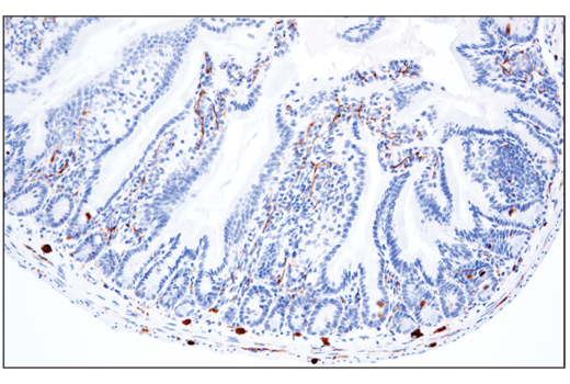 Immunohistochemical analysis of paraffin-embedded mouse small intestine using Phospho-Tau (Thr205) (E7D3E) Rabbit mAb.