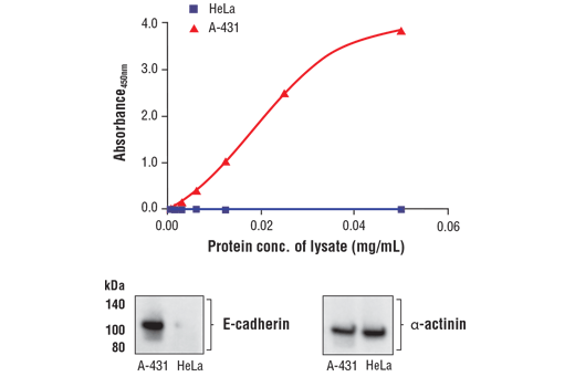 Figure 1. A-431 cells (E-cadherin positive) express high levels of E-cadherin compared to HeLa cells (E-cadherin negative). The relationship between lysate protein concentration from HeLa and A-431 cells and the absorbance at 450 nm using the FastScan™ Total E-Cadherin ELISA Kit #94249 is shown in the upper figure. The corresponding western blots using an E-cadherin antibody (left panel) and an α-actinin antibody as a loading control (right panel) are shown in the lower figure.