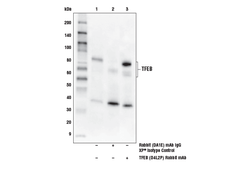 Immunoprecipitation of TFEB from A20 cell extracts. Lane 1 is 10% input, lane 2 is Rabbit (DA1E) mAb IgG XP<sup>®</sup> Isotype Control #3900, and lane 3 is TFEB (D4L2P) Rabbit mAb. Western blot was performed using TFEB (D4L2P) Rabbit mAb. Mouse Anti-Rabbit IgG (Conformation Specific) (L27A9) mAb (HRP Conjugate) #5127 was used as a secondary antibody.