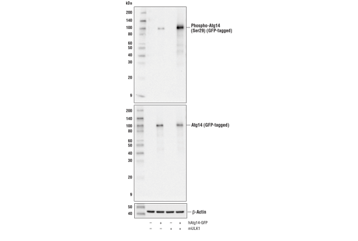 Western blot analysis of extracts from 293T cells, mock transfected (-) or transfected with constructs expressing GFP-tagged human Atg14 protein (hAtg14-GFP; +) or mouse ULK1 protein (mULK1; +), using Phospho-Atg14 (Ser29) (D4B8M) Rabbit mAb (upper), Atg14 (D1A1N) Rabbit mAb (middle), or β-Actin (D6A8) Rabbit mAb #8457 (lower).