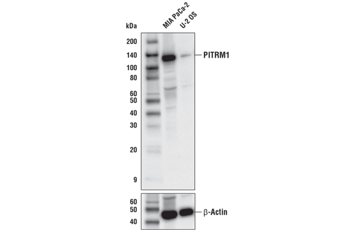 Polyclonal Antibody Western Blotting Protein Processing
