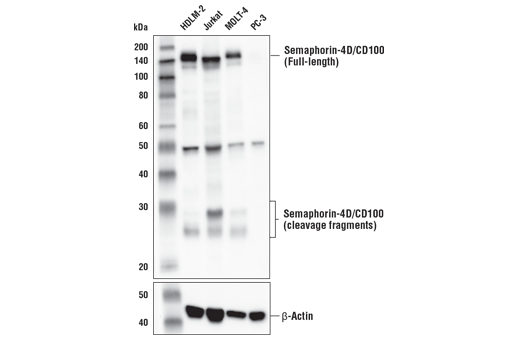 Western blot analysis of extracts from various cell lines using Semaphorin-4D/CD100 (E8S8A) Rabbit mAb (upper) and β-Actin (D6A8) Rabbit mAb #8457 (lower). As expected, Semaphorin-4D/CD100 protein is not expressed in PC-3 cells .