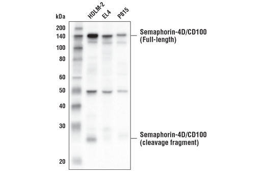 Western blot analysis of exctracts from HDLM-2, EL4, and P815 cells, using Semaphorin-4D/CD100 (E8S8A) Rabbit mAb.