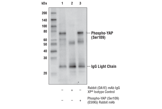 Immunoprecipitation of Phospho-YAP (Ser109) protein from PANC-1 cell extracts. Lane 1 is 10% input, lane 2 is Rabbit (DA1E) mAb IgG XP<sup>®</sup> Isotype Control #3900, and lane 3 is Phospho-YAP (Ser109) (E5I9G) Rabbit mAb. Western blot analysis was performed using Phospho-YAP (Ser109) Antibody #46931. Mouse anti-rabbit IgG (Conformation Specific) (L27A9) mAb (HRP Conjugate) #5127 was used for detection to avoid cross-reactivity with IgG.