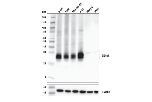 Monoclonal Antibody - CD151 (E9M8T) Rabbit mAb, UniProt ID P48509, Entrez ID 977 #81626 - #81626