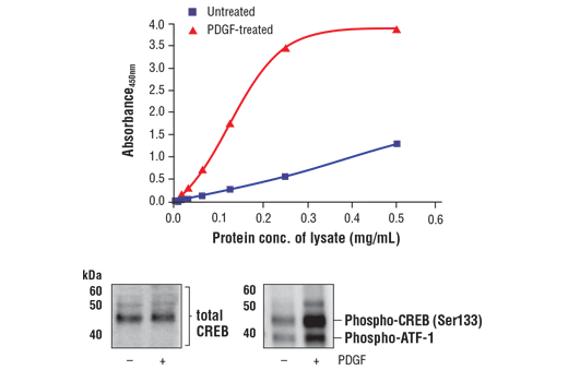 Figure 1. Treatment of NIH/3T3 cells with PDGF stimulates phosphorylation of CREB at Ser133 but does not affect the level of total CREB. The relationship between lysate protein concentration from untreated and PDGF-treated NIH/3T3 cells and the absorbance at 450 nm using the FastScan™ Phospho-CREB (Ser133) ELISA Kit #42054 is shown in the upper figure. The corresponding western blots using CREB antibody (left panel) and phospho-CREB (Ser133) antibody (right panel) are shown in the lower figure. After serum starvation, NIH/3T3 cells were treated with 100 ng/ml PDGF #8912 for 5 minutes at 37°C and then lysed.