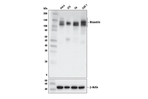 Western blot analysis of extracts from various cell lines using Nicastrin (D4F6N) Rabbit mAb (upper) and β-Actin (D6A8) Rabbit mAb #8457 (lower).