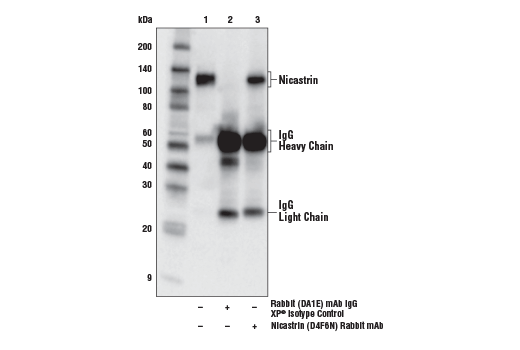 Immunoprecipitation of Nicastrin from 3T3 cell extracts. Lane 1 is 10% input, lane 2 is Rabbit (DA1E) mAb IgG XP<sup>®</sup> Isotype Control #3900, and lane 3 is Nicastrin (D4F6N) Rabbit mAb. Western blot analysis was performed using Nicastrin (D4F6N) Rabbit mAb. Anti-rabbit IgG, HRP-linked Antibody #7074 was used as the secondary antibody.