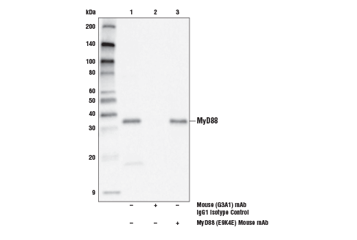 Immunoprecipitation of MyD88 from MCF7 cell extracts. Lane 1 is 10% input, lane 2 is Mouse (G3A1) mAb IgG1 Isotype Control #5415, and lane 3 is Myd88 (E9K4E) Mouse mAb. Western blot analysis was performed using MyD88 (D80F5) Rabbit mAb #4283.