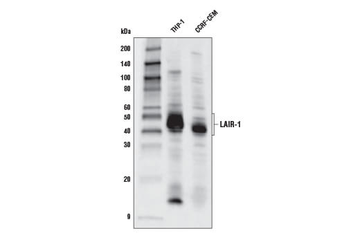 Western blot analysis of extracts from THP-1 and CCRF-CEM cells using LAIR-1 Antibody.